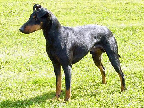 Manchester Terrier Dog: Manchester Open Breed