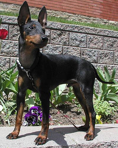Manchester Terrier Dog: Manchester Toymanchesterterrier Breed