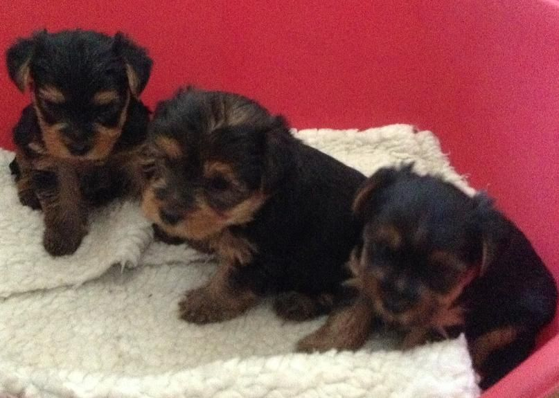 Manchester Terrier Puppies: Manchester Yorkshire Terrier Puppies Manchester Breed