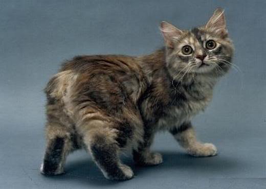 Manx Kitten: Manx Manx Cat Breed
