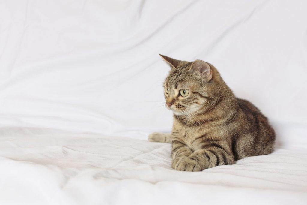 Manx Cat: Manx The Manx Cat Breed