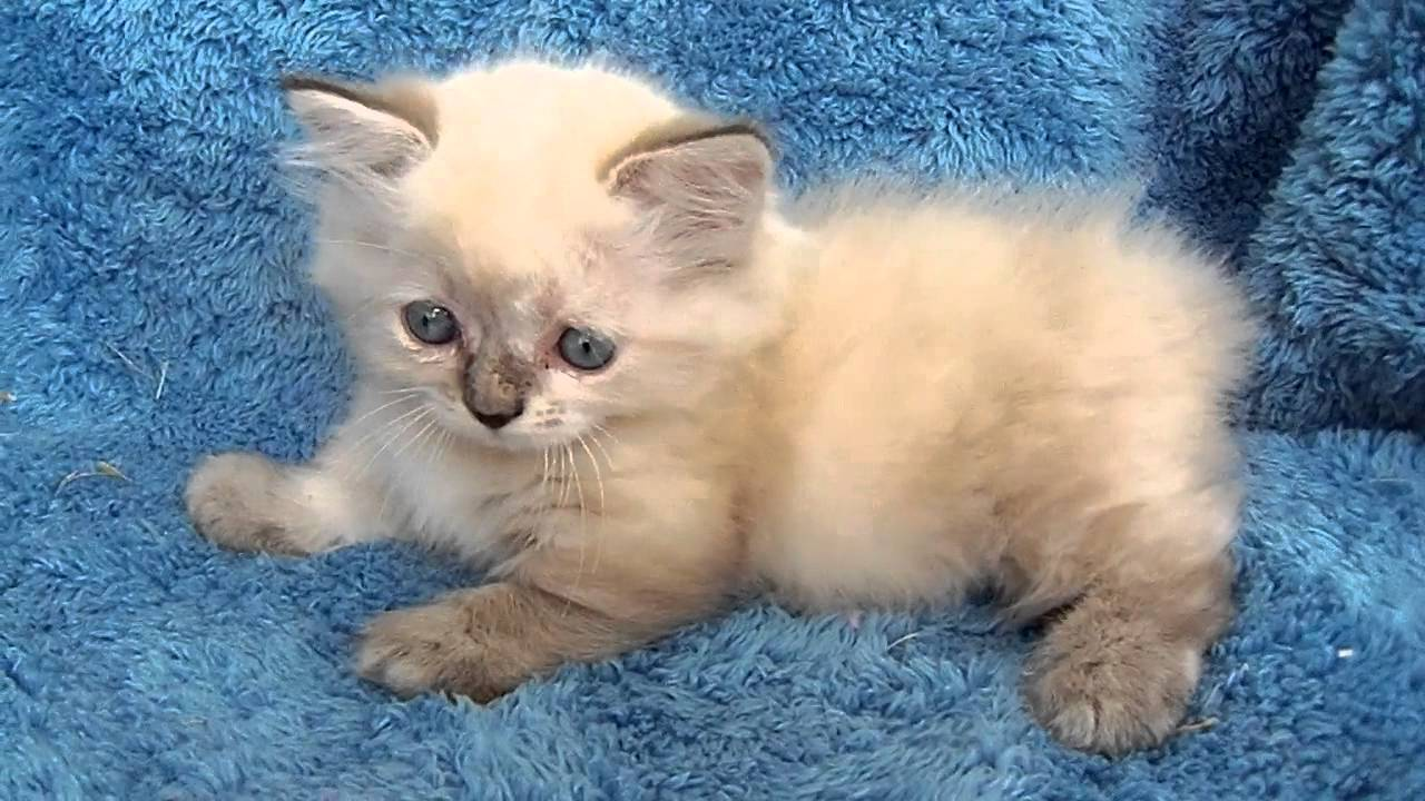 Manx Kitten: Manx Watch Breed