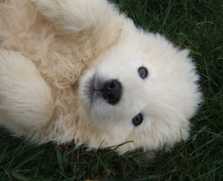 Maremma Sheepdog Puppies: Maremma Breed