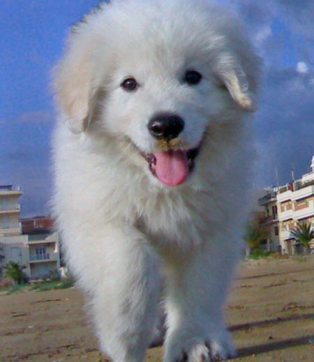 Maremma Sheepdog Puppies: Maremma Ettore The Maremma Sheepdog Breed