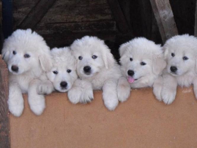 Maremma Sheepdog Puppies: Maremma Httpccwwwekpuppyecoeukcmembersclukymaclukymalabrador Retriever Aejpg Breed