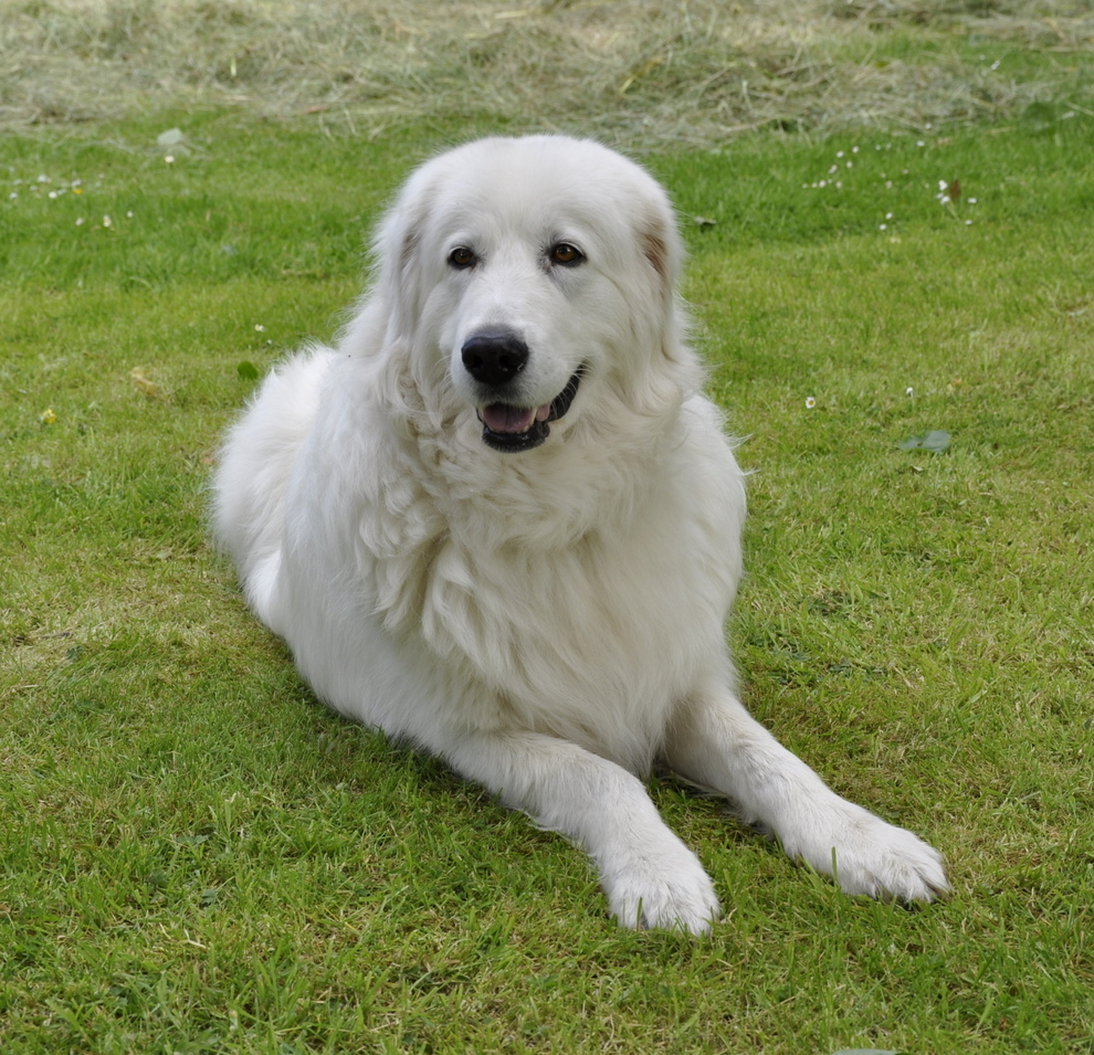 Maremma Sheepdog Dog: Maremma Maremma Sheepdog Dog On The Grass Breed