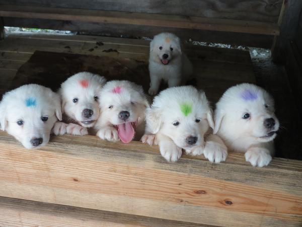 Maremma Sheepdog Puppies: Maremma Maremma Sheepdog Puppies Are Weeks Old Breed