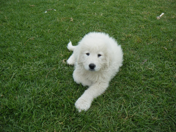 Maremma Sheepdog Puppies: Maremma Maremma Sheepdog Puppies Breed