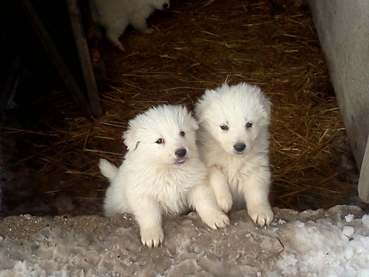 Maremma Sheepdog Puppies: Maremma Maremma Sheepdog Puppies For Sale Breed
