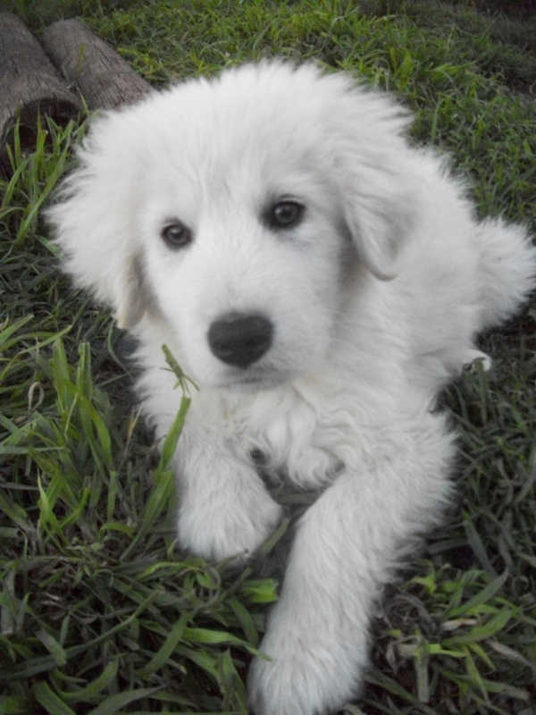 Maremma Sheepdog Puppies: Maremma Maremma Sheepdog Puppies For Sale Melbourne Breed