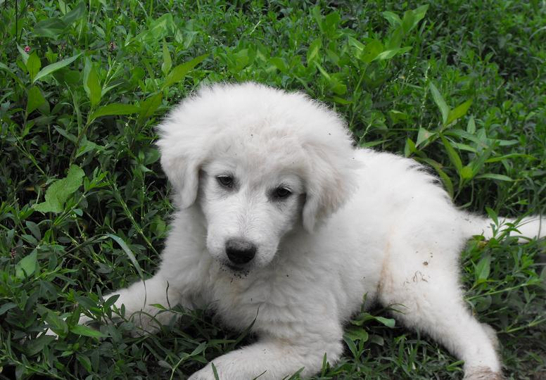 Maremma Sheepdog Puppies: Maremma Maremma Sheepdog Puppies One Little Girl Is Mine Breed