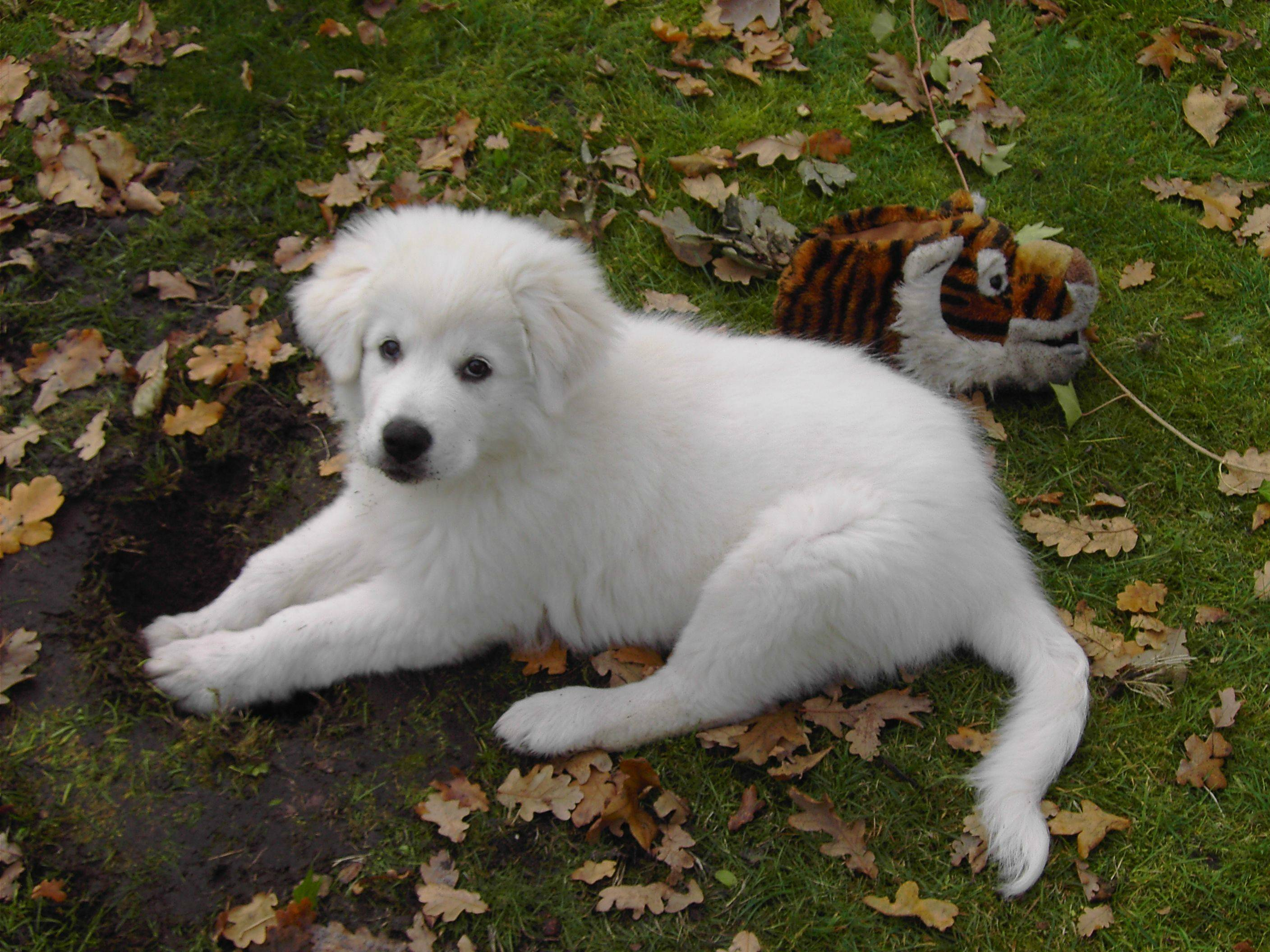 Maremma Sheepdog Puppies: Maremma Maremma Sheepdog Puppy Breed