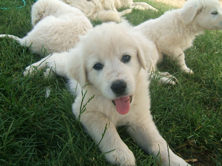 Maremma Sheepdog Puppies: Maremma Maremma Sheepdog Purebred Puppies Breed