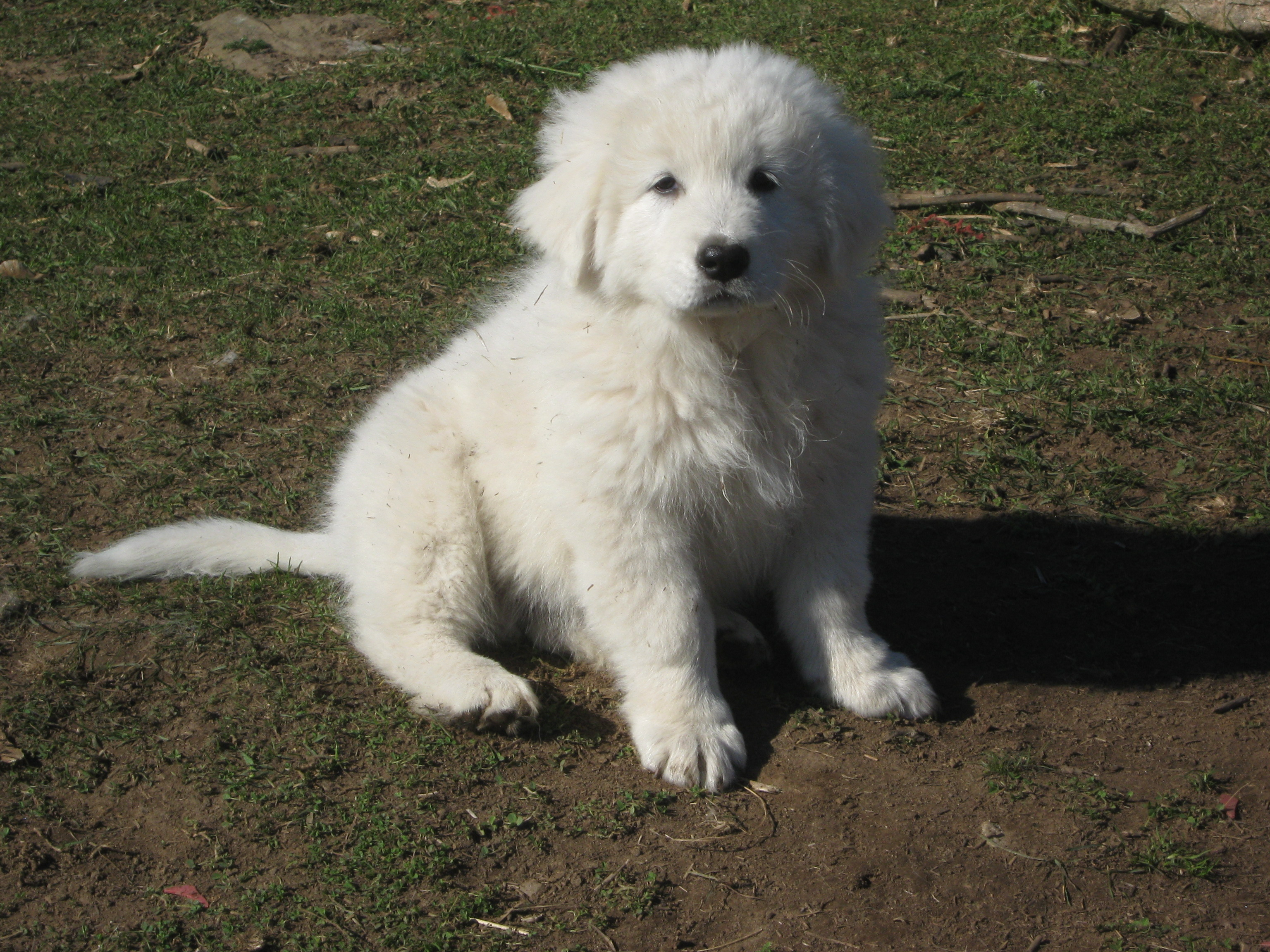 Maremma Sheepdog Puppies: Maremma Services Breed