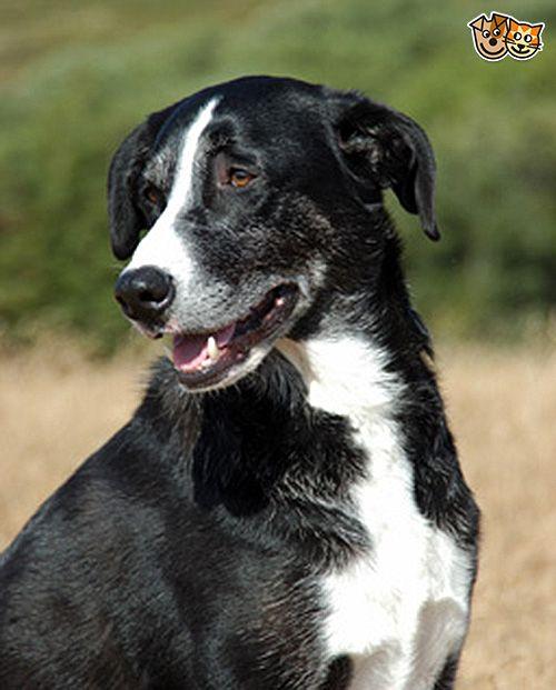 McNab Dog: McNab All About The Mcnab Dog Breed