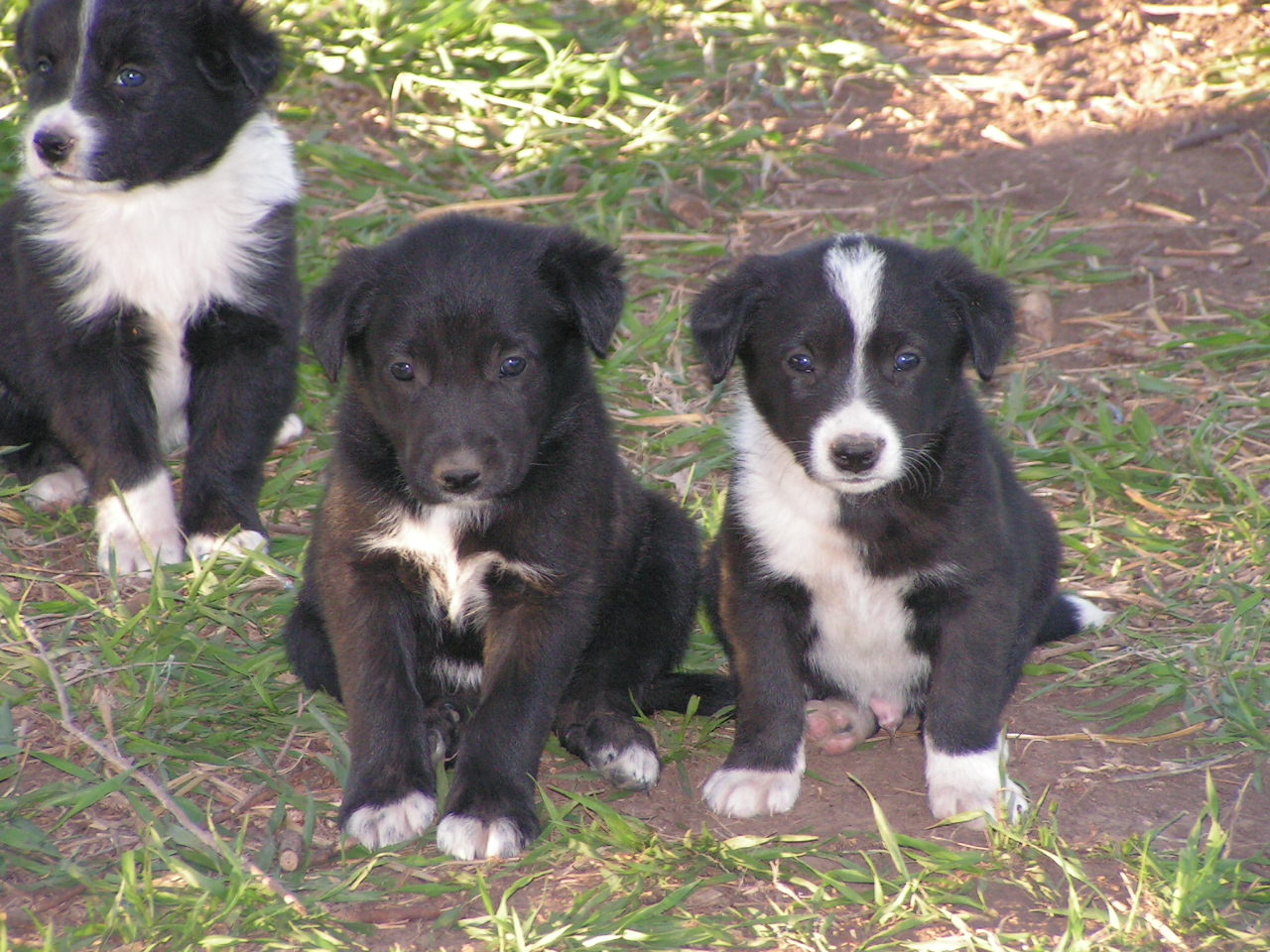 McNab Puppies: McNab Breed