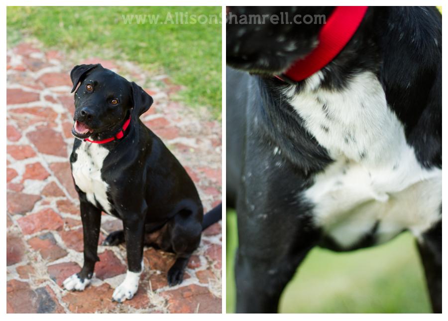 McNab Dog: McNab Labradors In The Park Breed