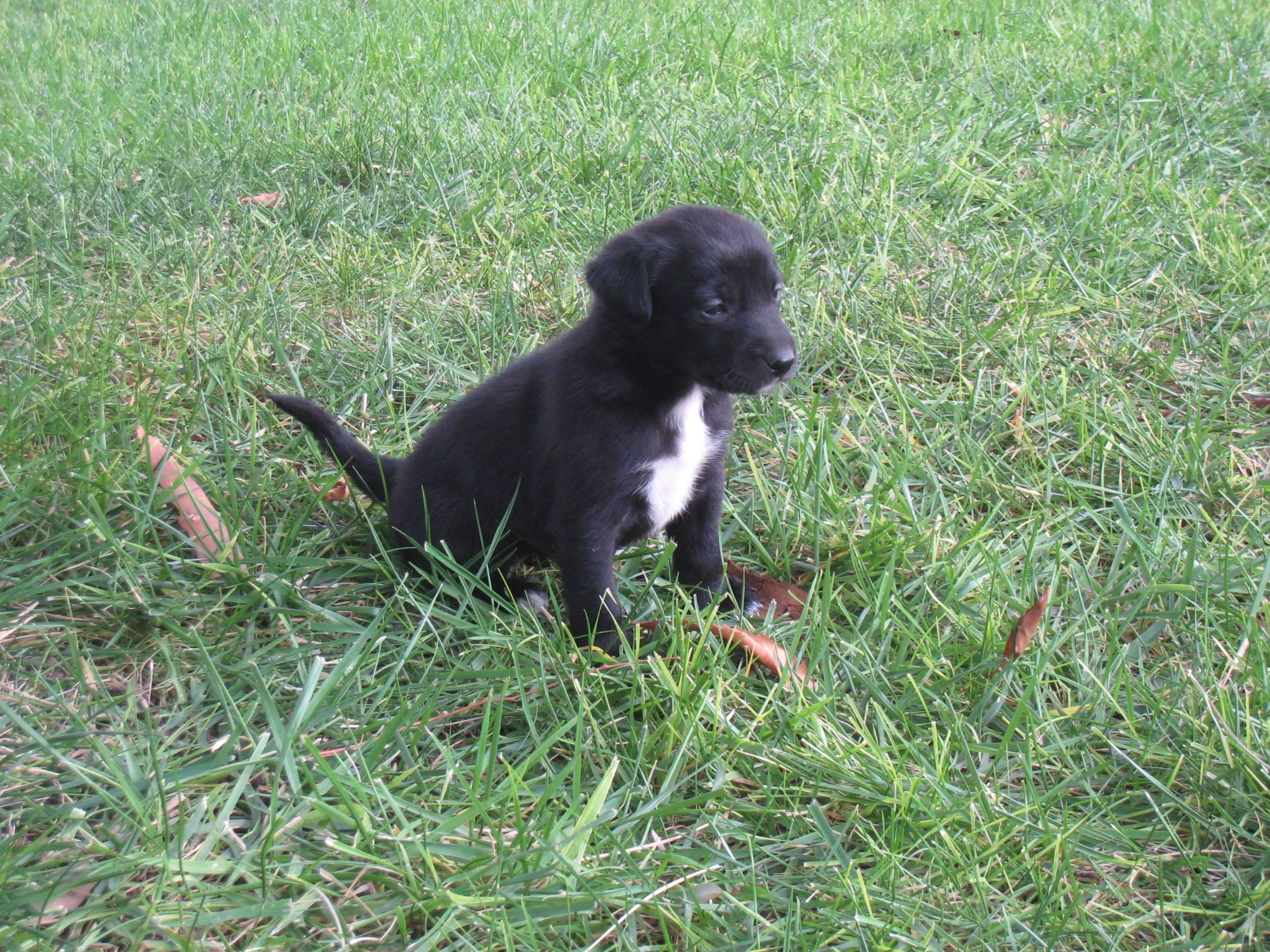 McNab Dog: McNab Mcnab Puppy Breed