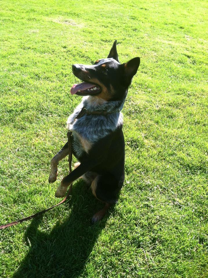 McNab Dog: McNab Mcnab Shepherd Breed