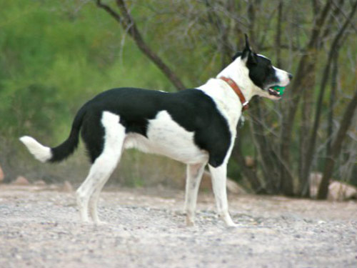 McNab Dog: McNab Open Breed