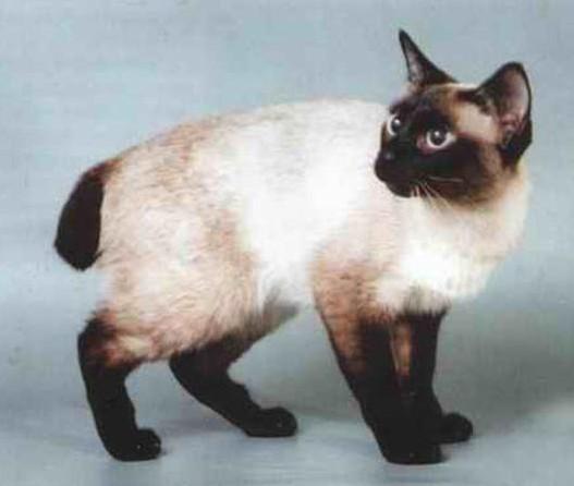 Mekong Bobtail Cat: Mekong Techniterms Breed