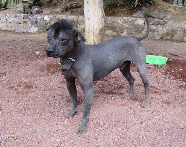 Mexican Hairless Puppies: Mexican Breed