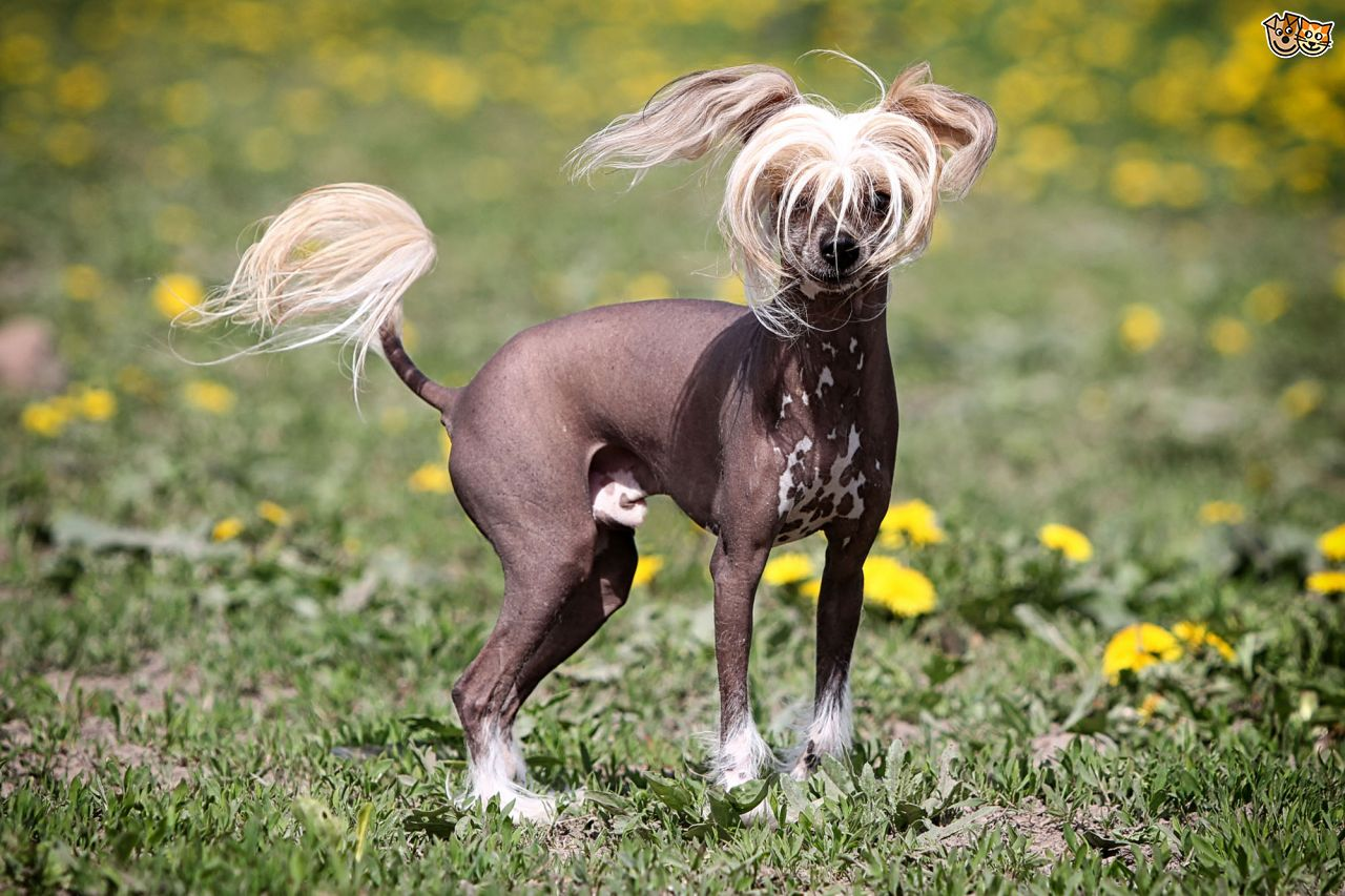 Mexican Hairless Dog: Mexican How To Deal With Going Bald Breed