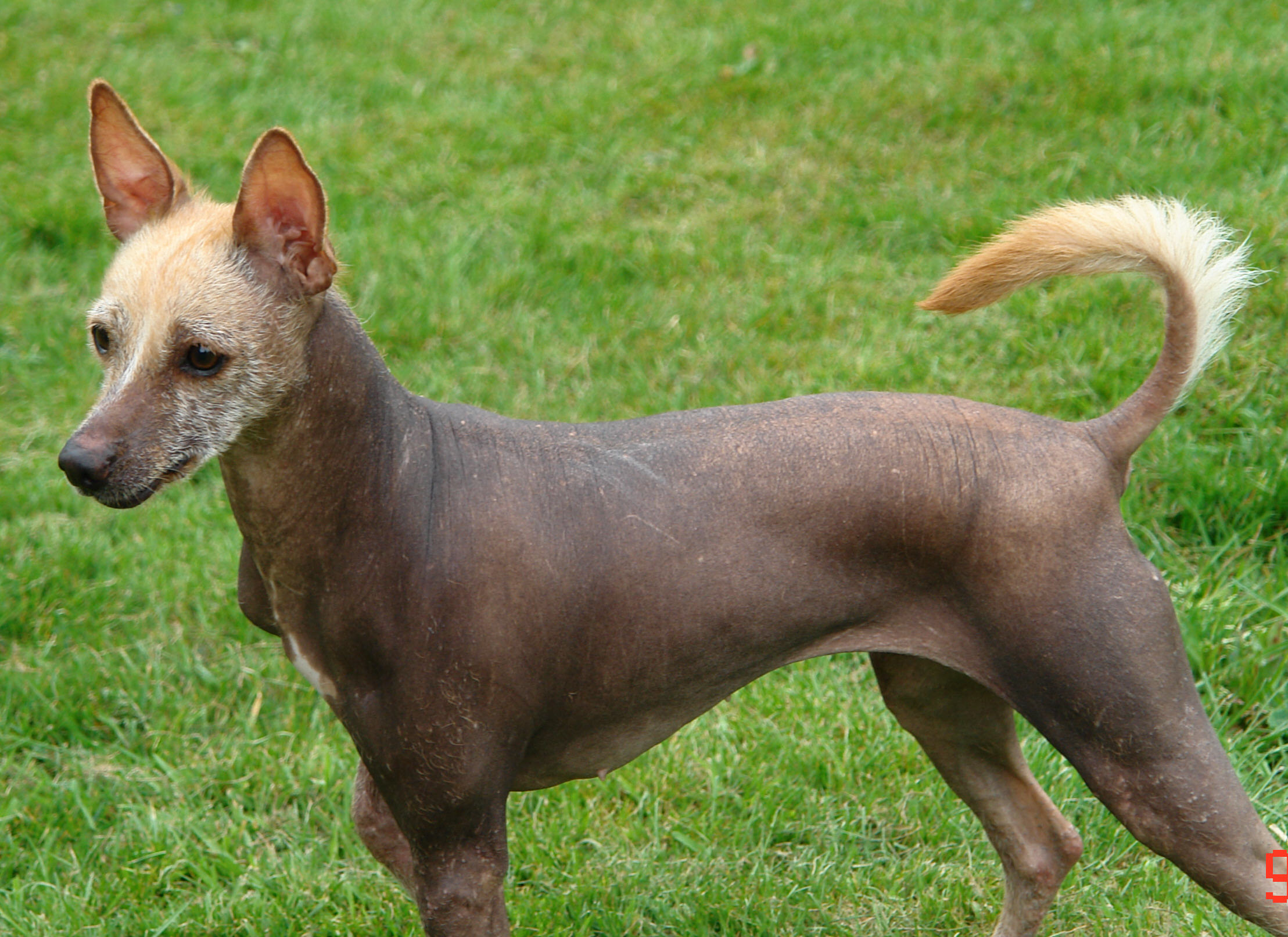 Mexican Hairless Puppies: Mexican Lovely Mexican Hairless Dog Breed