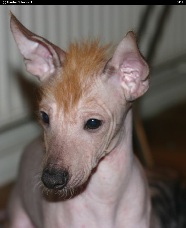 Mexican Hairless Puppies: Mexican Mexican Hairless Breed