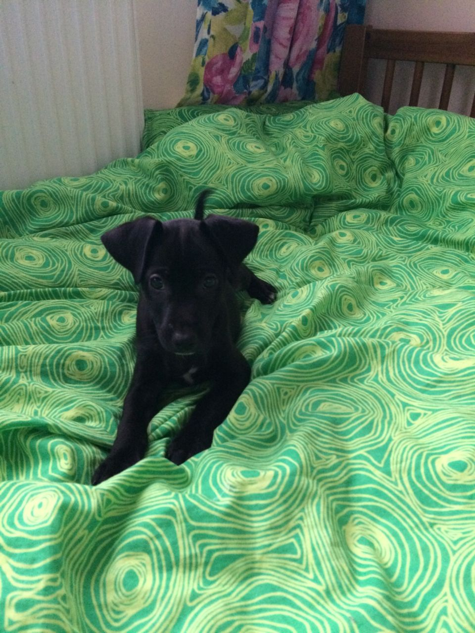 Mexican Hairless Puppies: Mexican Mexican Hairless Puppies Tilbury Breed