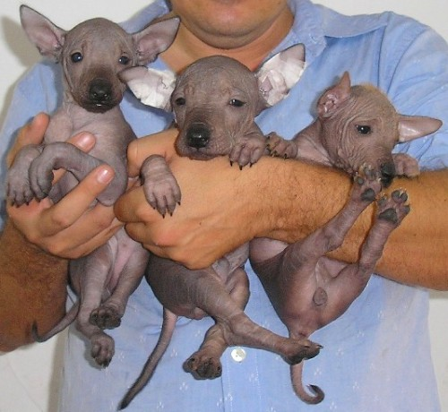 Mexican Hairless Puppies: Mexican Xoloitzcuintli Mexican Hairless Dog Breed