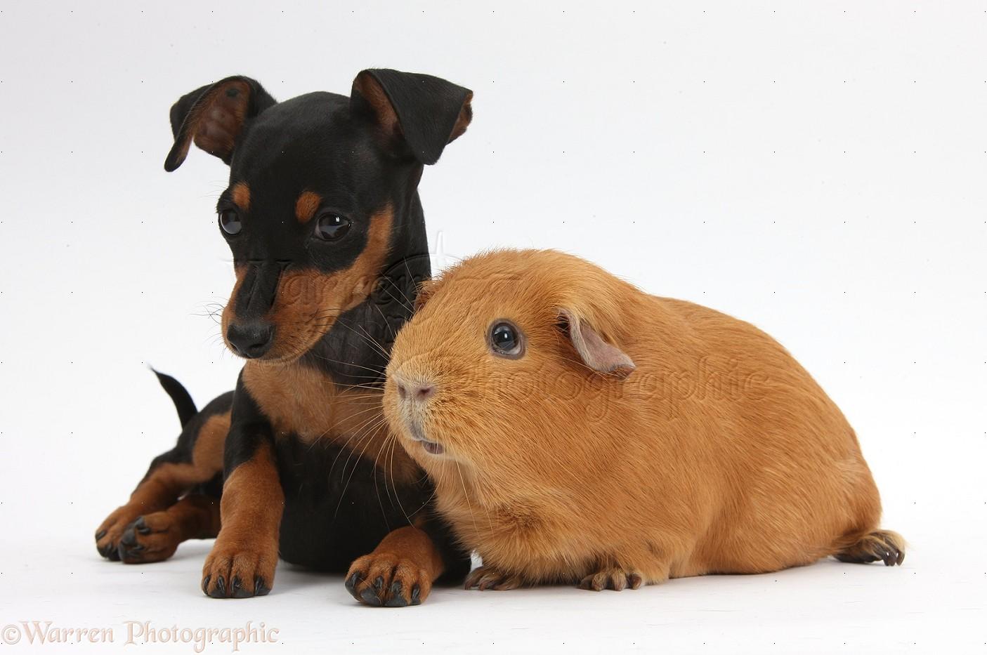 Miniature Pinscher Puppies: Miniature Bestakcpups Breed