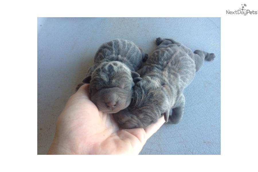 Miniature Shar Pei Puppies: Miniature Bfe Breed