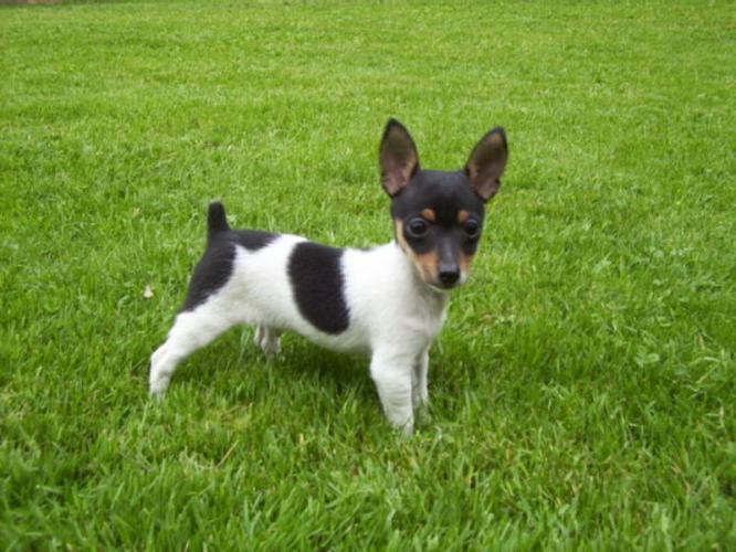 Miniature Fox Terrier Puppies: Miniature Breed Profile Toy Fox Terrier