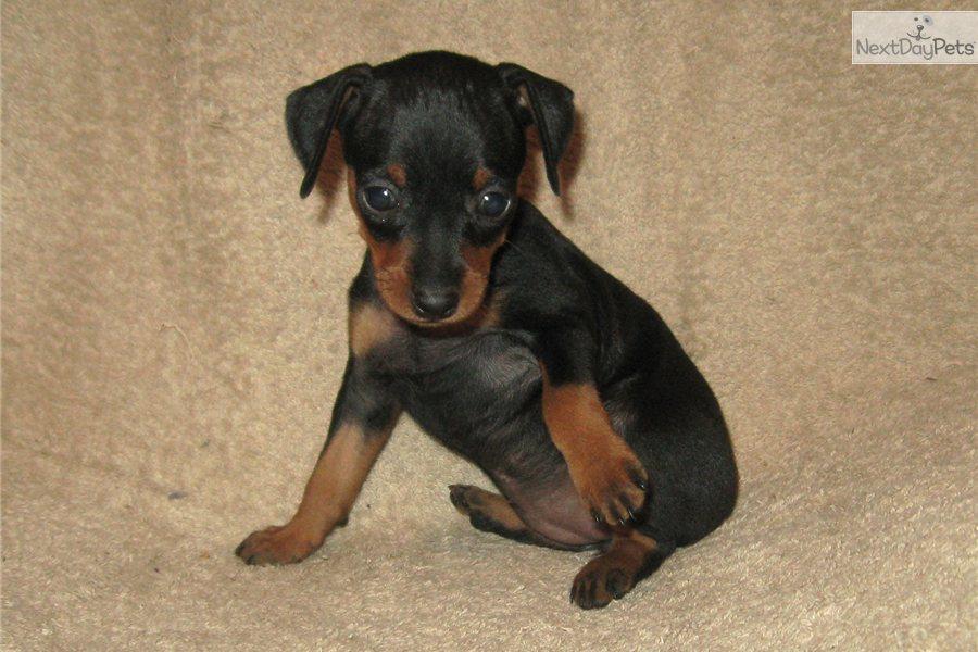 Miniature Pinscher Puppies: Miniature C A Breed