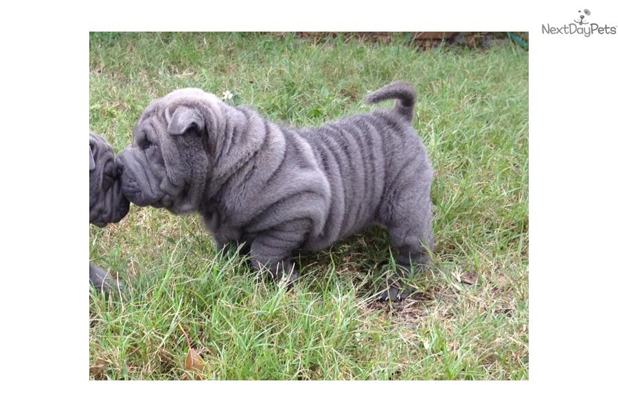 Miniature Shar Pei Puppies: Miniature Fab E Breed