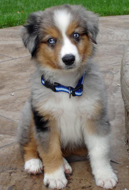 Miniature Australian Shepherd Puppies: Miniature Index Breed