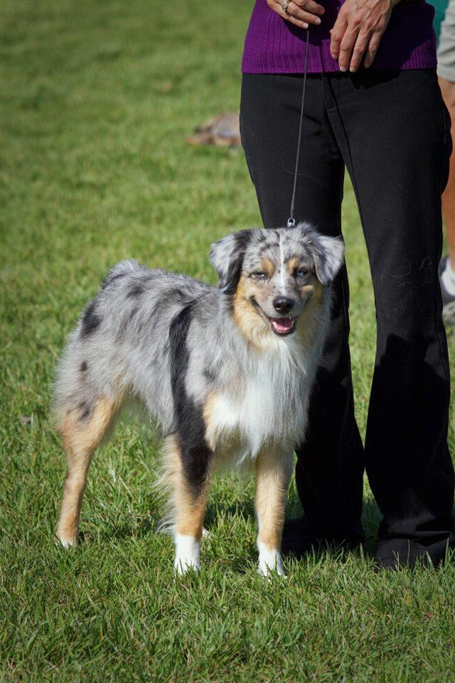 Miniature American Shepherd Dog: Miniature Iphone Stud Miniature Animal Background Breed
