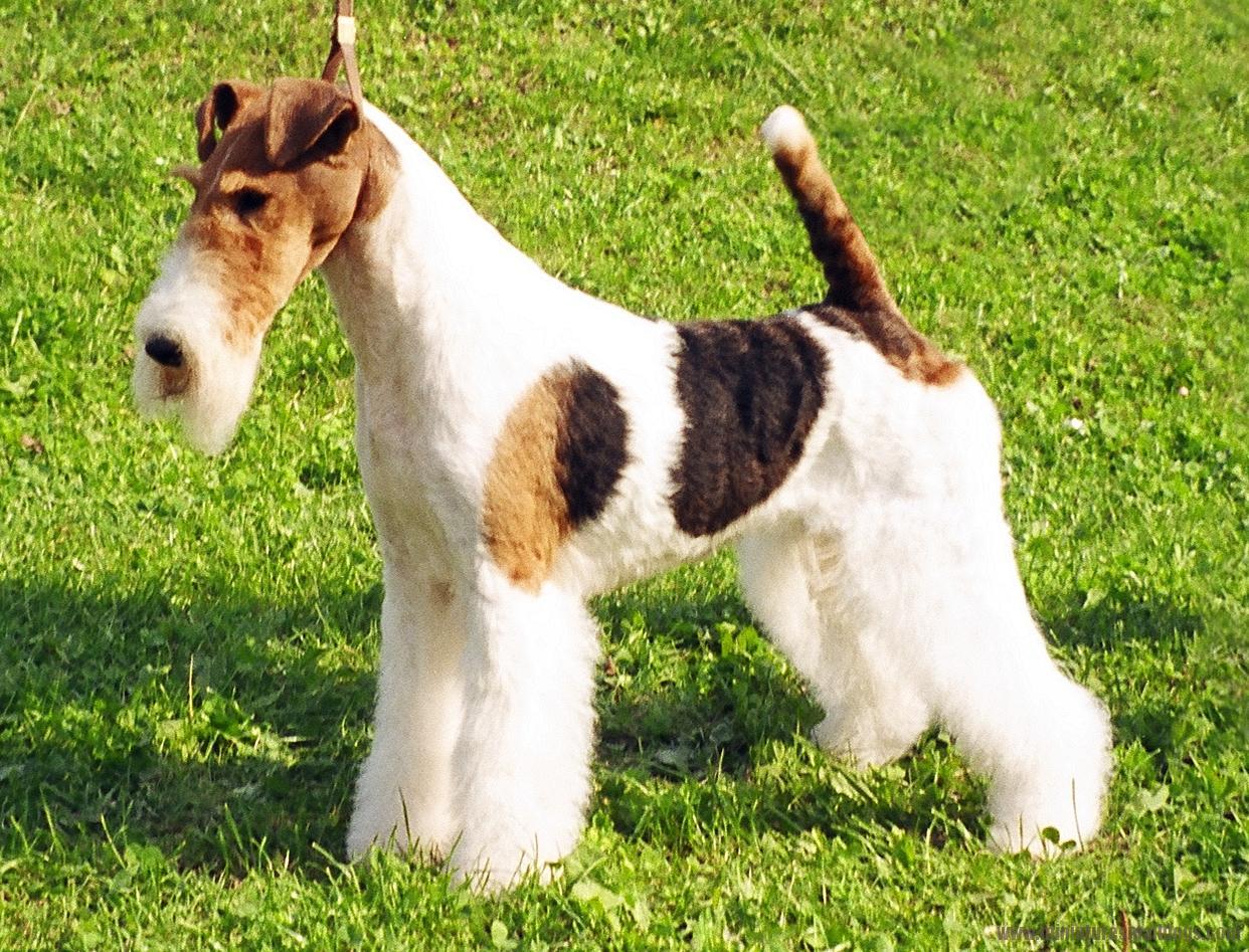 Miniature Fox Terrier Dog: Miniature Mini Fox Dog Breed