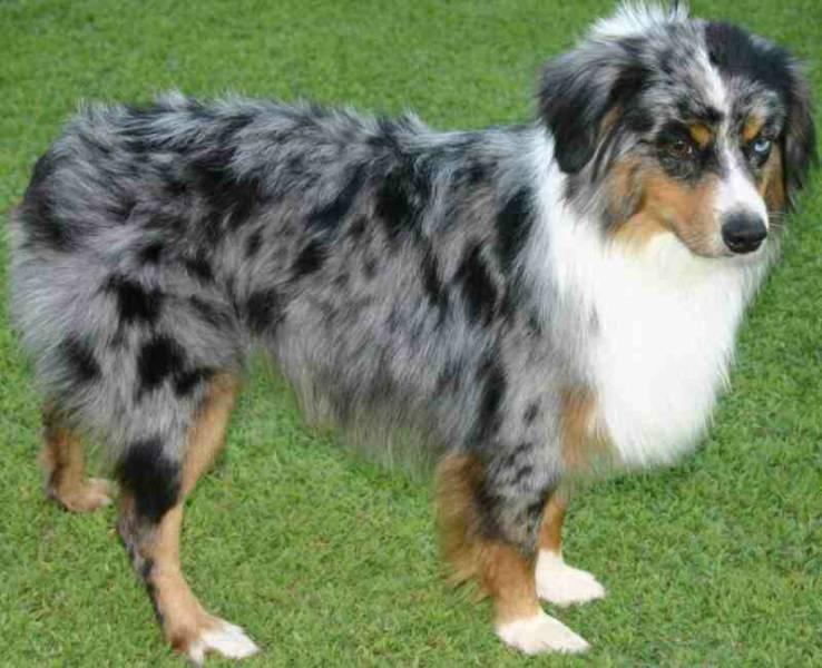 Miniature Australian Shepherd Dog: Miniature Miniature Australian Shepherd Puppy Breed
