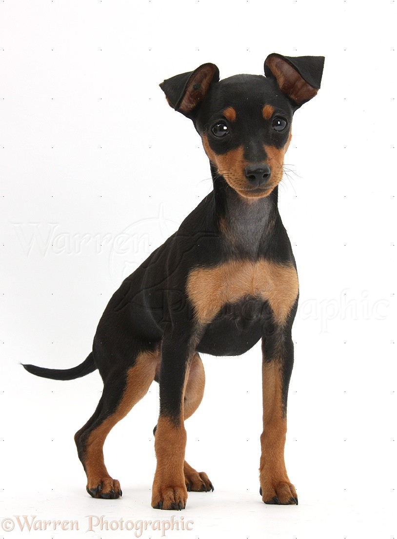 Miniature Pinscher Dog: Miniature Miniature Pinscher Puppy Breed