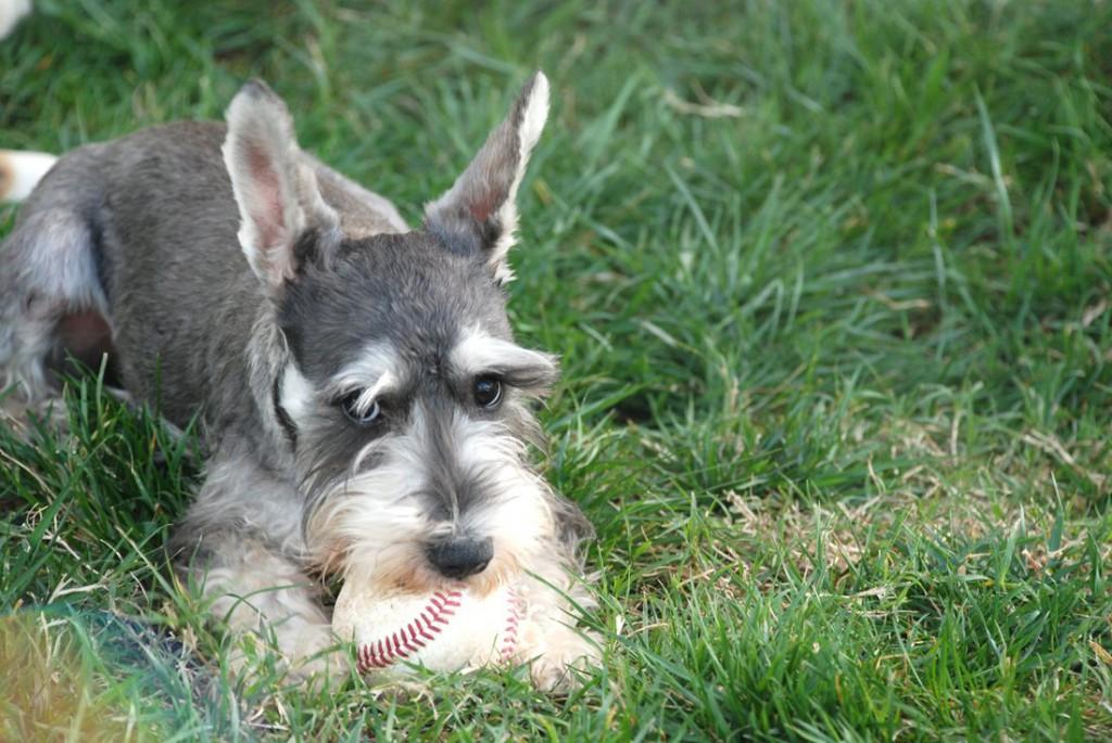 Miniature Schnauzer Dog: Miniature Miniatureschnauzer Dog Breed