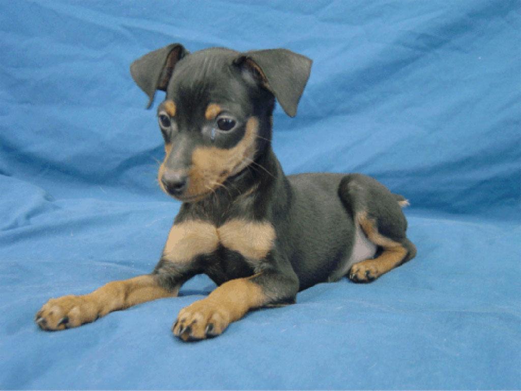 Miniature Pinscher Dog: Miniature Pinscher Puppy Breed