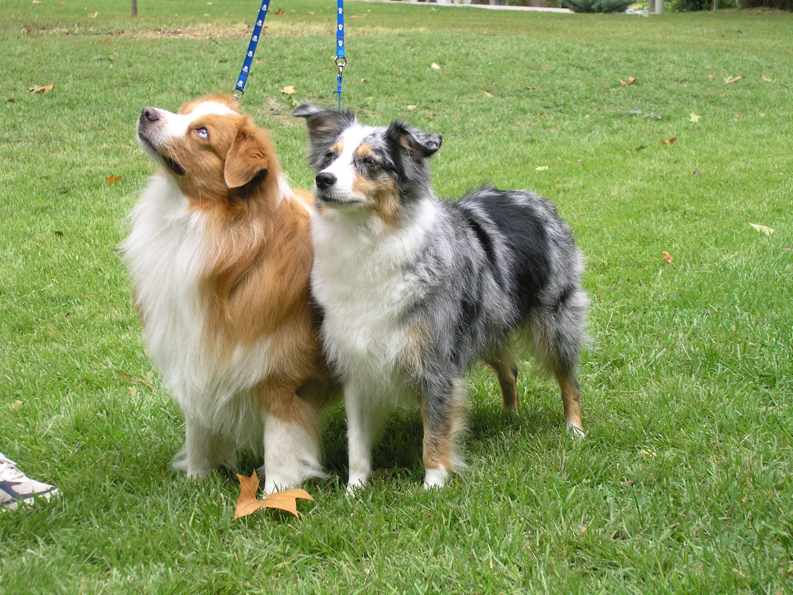 Miniature American Shepherd Dog: Miniature Puppy Breed