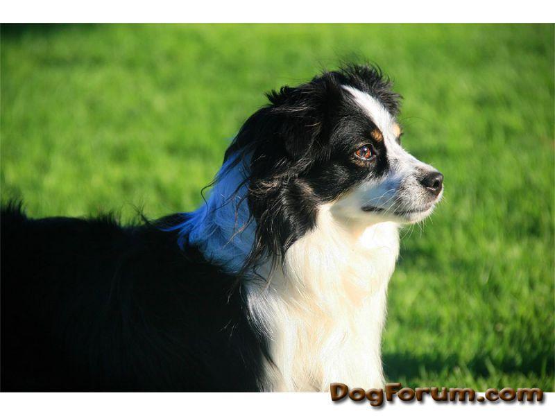 Miniature American Shepherd Dog: Miniature Rara Breed