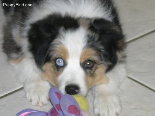 Miniature American Shepherd Puppies: Miniature Rumor Akc American Miniature Shepherd Puppy Breed