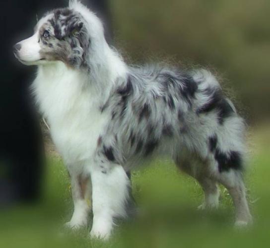 Miniature Australian Shepherd Puppies: Miniature S Of Australian Shepherds For Sale In Ontario Canada Breed