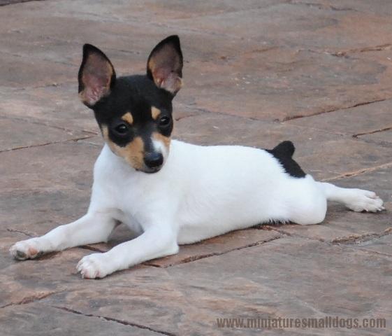 Miniature Fox Terrier Dog: Miniature Toy Fox Terrier Breed