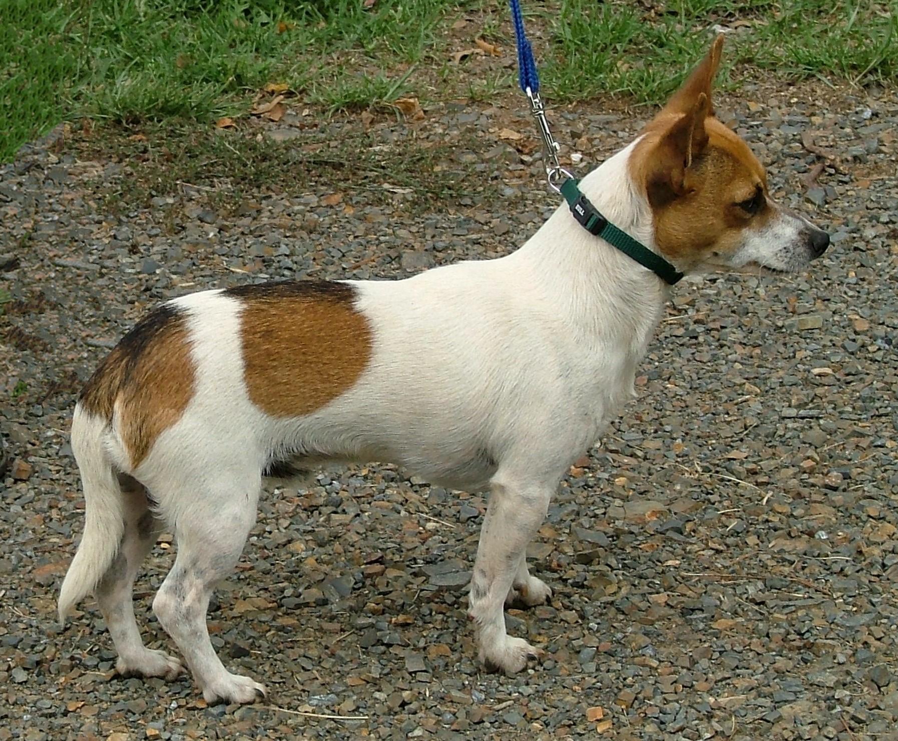 Miniature Fox Terrier Dog: Miniature Watching Miniature Fox Terrier Breed