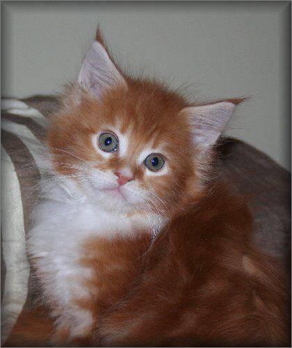 Minskin Kitten: Minskin Seite Katzenbabys M Breed